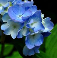 Gentle Blue by Forestina-Fotos