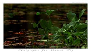 Green life on the pond by laurentroy