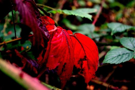 Red Leaves by KDuckxo