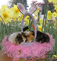 Easter Guinea Pigs by Leia1987