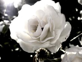 white rose by nokel