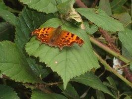 Comma by buttercupminiatures