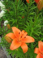 orange lilly 04 by CotyStock