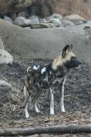 African Wild Dog 005 by MonsterBrand-stock