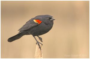 Red-winged Blackbird by Ryser915
