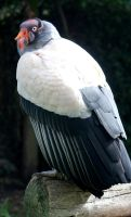 King Vulture by MaresaSinclair
