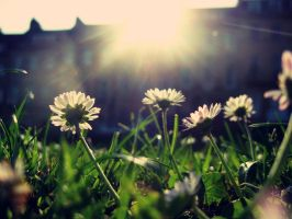 Daisys at Sunset by Marypops