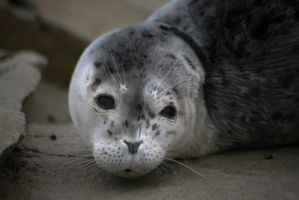 Harbor Seal Pup by JAHphoto