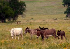 Burros in the Black Hills by NycterisA