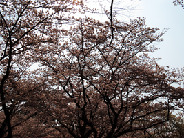 Cherry Blossoms of Harajuku by L-Spiro