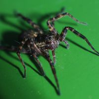 Wolf spider by Ignas357