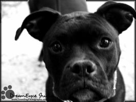 Dyna the Boxer for adoption by DreamEyce