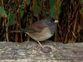 Profile of a Junco by vanwaglajam