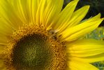 Sunflower And Bee by Etherbreeze