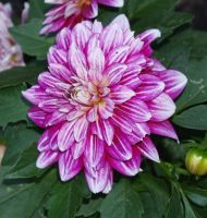 Summer 2015 Purple Dahlia Stock 3 by anbdstock