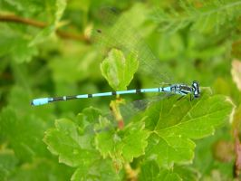 Damselfly by michael160693