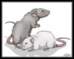 long hair rats. by SweGizmo