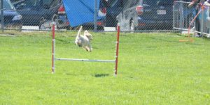 2014 Dog Festival, Agility Contest 17 by Miss-Tbones