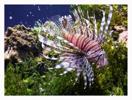 Lion Fish by iseekreality