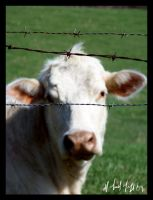 Out of focus cow by Famous-Panda