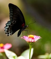 Black Butterfly by mekeltan