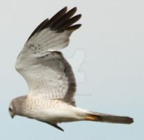 Northern Harrier 3 by AlaskanStock