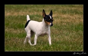 Toy Fox Terrier by StrictlyCanine-SI