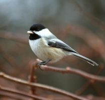 Chickadee with Seed by tidesend