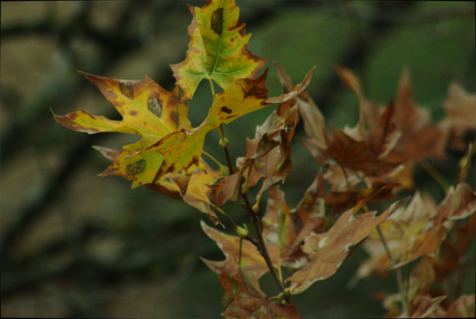 Autumn Leaves by giovimonto