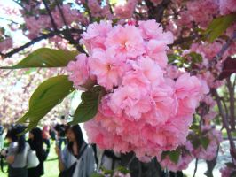 Cherry Blossoms 4 by AGS05