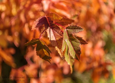 Beautiful autumn leaves by Daina-Lockie