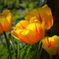 Tulips for Canan by DriPoint