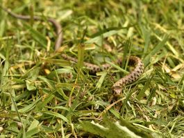 Baby grass Snake by Xs9nake