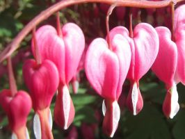 Bleeding Hearts by TammyLlewella16