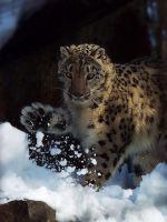 Snow Leopard'4 by SheltieWolf