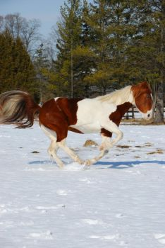 Pinto Horse 19 by ErikaChristine