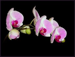 ORCHIDS 32 by THOM-B-FOTO