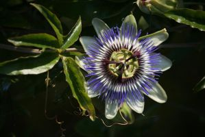 the magic of a passion flower 2 by ingeline-art