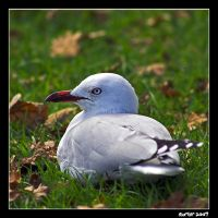 Resting Gull by carterr