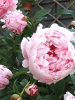 Paeonia by Kitsch1984