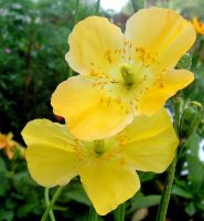 Yellow Poppies - for Margo by JocelyneR