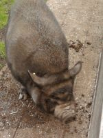 Potbellied Pig 002 by xSofticatious