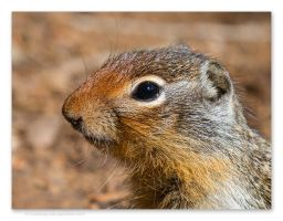Columbian Ground Squirrel by kootenayphotos