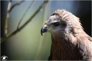 2010-253 Black Kite Portrait by W0LLE