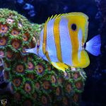Butterflyfish by FauxHead