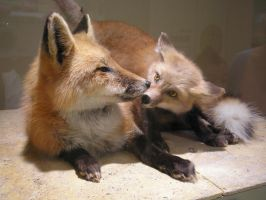 Red Foxes by Cane-McKeyton