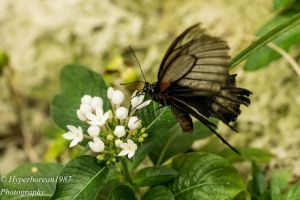 Butterfly by Hyperborean1987