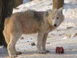 North American Arctic Wolf 77 by animalphotos