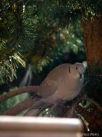Ring Collared Dove by ChessW24