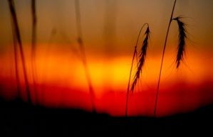 Grass in the Sunset by earthbound14